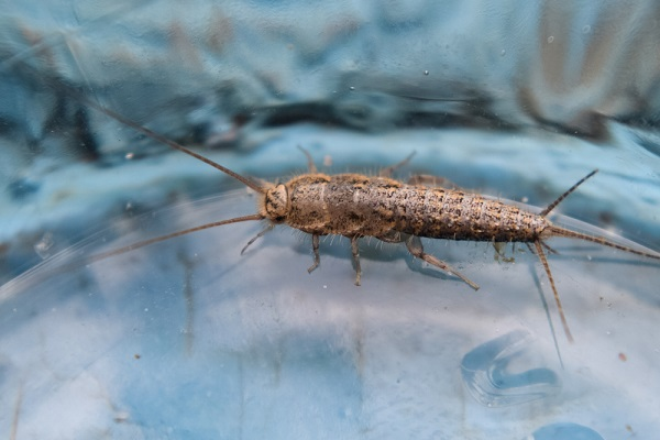 Will a Homeowners Policy Cover a Rug Damaged by Silverfish?