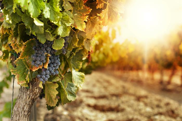 smoky and complex: are harvested grapes covered for smoke damage?