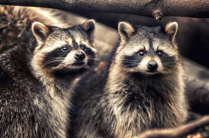 is-a-raccoon-a-mammal-an-animal-or-vermin